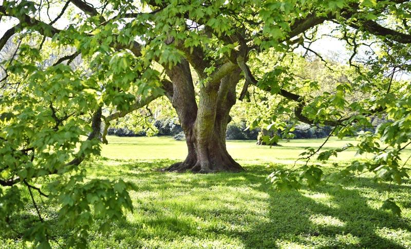 Ahorn Baum Holzmuster