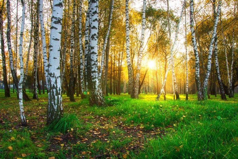 Birken Bäume Holzmuster Sophia Born