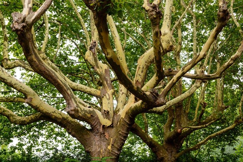 Plantane Bäume Sophia Born